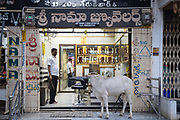 KADIRI, INDIA - 01st November 2019 - Cow stands outside shop on street in Kadiri town centre, Andhra Pradesh, South India