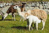 Llamas at Machu Picchu, Incas ruins in the peruvian Andes at Cuzco Peru