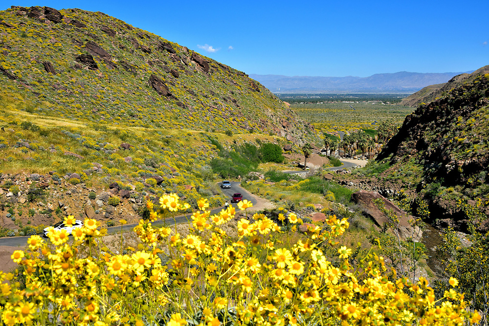 Yellow Brittlebush at Palm Canyon in Palm Springs, California<br /> Now look up towards the cliff where the Palm Canyon Trading Post is located. When blessed with spring rain, the mount is covered with bright yellow flowers. Their scientific name is encelia farinosa. Most people call them brittlebush. After parking your car, take a moment to enjoy this valley view while breathing the fresh air scented with the fragrance of these beautiful wildflowers.