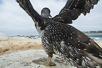 Juvenile Cape Gannet wing flapping to strengthen its wings for flight, Malgas Island, West Coast National Park, Western Cape, South Africa