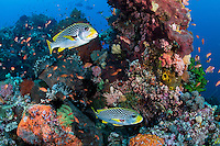 A pair of Sweetlips' hold out of the current behind a coral head<br /> <br /> <br /> Shot in Indonesia