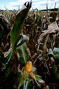 Ripe corn still in the husk in the corn field ready to be harvested in West Central near Fort Wayne in Indiana.