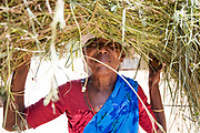 THIMMAMMA MARRIMANU, INDIA - 2nd November 2019 - Portrait of a local carrying harvested crops on her head to Thimmamma village in Andhra Pradesh, South India. Thimmamma Marrimanu is home to the world's largest single tree canopy.