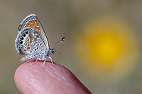 Brephidium exilis (Western Pygmy Blue) at Bob's Gap, Los Angeles Co, CA, USA, on 03-May-14