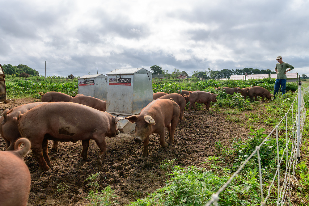 """Pigs, 8 Hands Farm, Cutchogue, NY, """"is a 28 acre, sustainable family farm on the North Fork of Long Island raising Icelandic Sheep."""""""