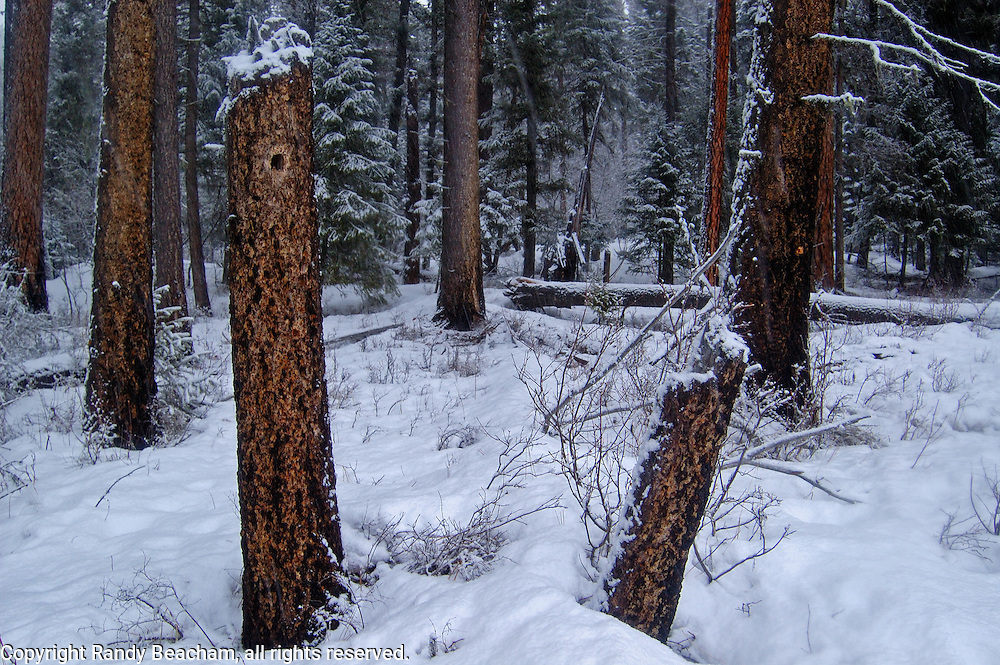 Old-growth forest during a snowstorm. Yaak Valley in the Purcell Mountains, northwest Montana