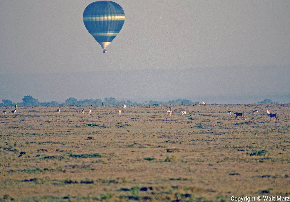 Balloon Safariers over a pair of Cheetahs stalking a small herd of Thomson Gazelles on the Massai Mara.  Vehicles follow the balloon to serve champagne breakfast in the bush and bring passengers back.