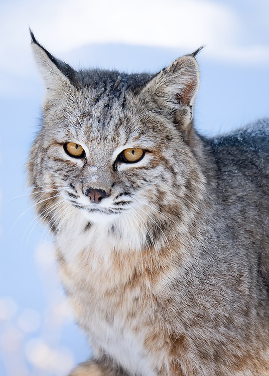 Bobcat photographed near Walker Ranch in the foothills above Boulder, Colorado. Not baited.