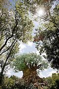 Orlando, Florida, USA, 20090324:   The Disney Animal World in Orlando. <br /> The Magic Tree. Photo: Orjan F. Ellingvag/ Dagbladet/ Corbis