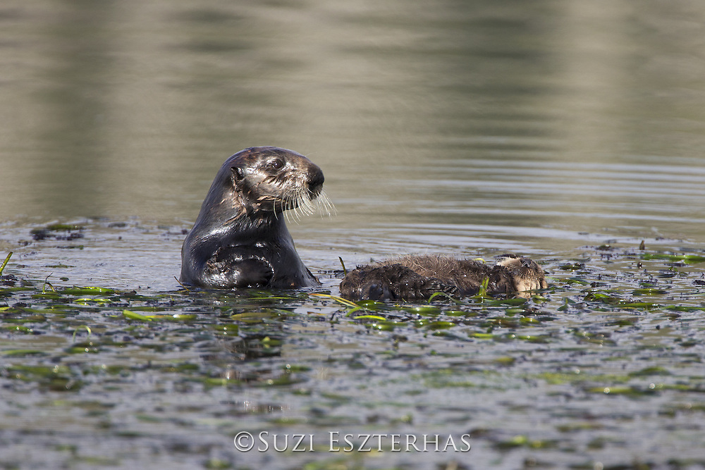 Sea Otter<br /> Enhydra lutris<br /> Mother and two-week-old pup (mother wrapped pup in eelgrass so it would not float away)<br /> Monterey, California