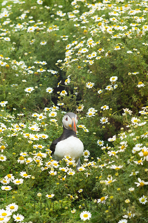 Puffin - pelagic seabird, Fratercula, on land in breeding season on island of Skomer, National Nature Reserve, South West Wales