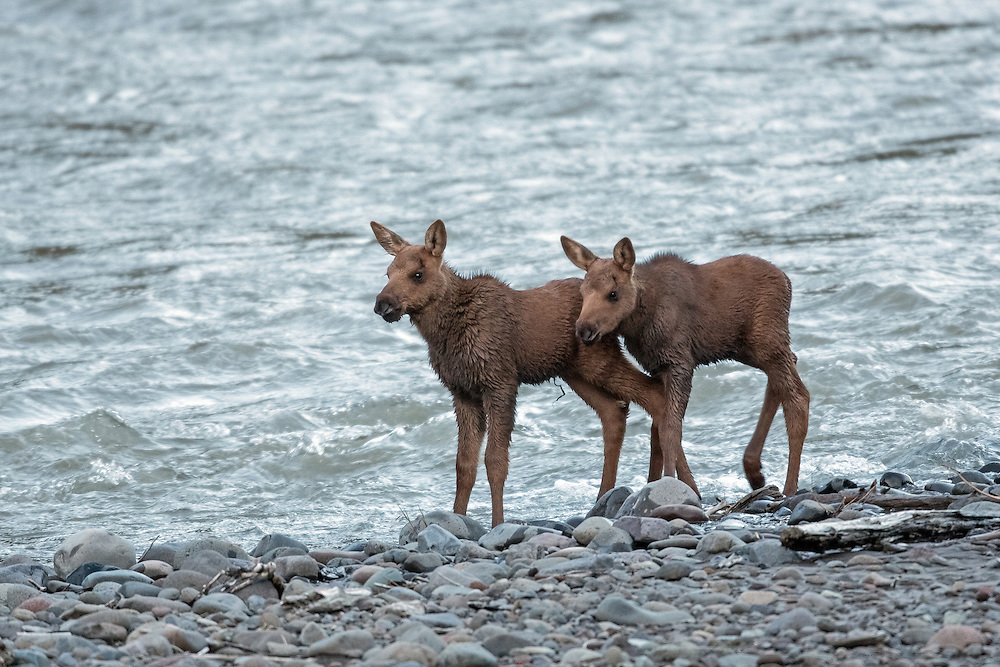 Moose usually give birth to one calf, but it's not uncommon for twins to be born.  Although moose lead a solitary existence, there is a very strong bond between a cow and her calves.  These two calves anxiously watched their mother as she foraged for willow on the river's edge.