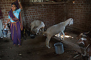 Banubai feeding the goats on their farm in Sendhwa, India.<br /> <br /> Dansingh and Banubai have recently switched to organic farming and have started to invest the money they are saving, by not buying chemicals, in to growing vegetables. These are flourishing with their new found organic techniques and the improved organic environment on the farm.<br /> <br /> Banubai is also investing in water pipes to help irrigate parts of the farm that were difficult to water.