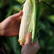A man shucks sweet corn that is for sale out of the back of a pick-up truck on the way to Wrightsville Beach, NC.