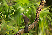 A Plain chachalaca ( Ortalis vetula ) pauses momentarily on a branch. Pine Savanna Nature Reserve, Belize.