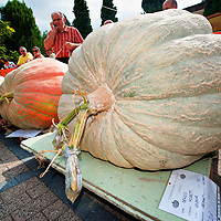 BRESCIA, ITALY - SEPTEMBER 12:  An official measures one of the giant pumpkins during this year competition at Sale Marasino on September 12, 2010 in Brescia, Italy.  Cutrupi Stefano of Radda in Chianti, won  this year Italian National Competition with his pumpkin weighing  507 Kg.