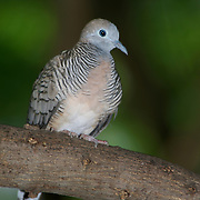 Peaceful Dove, Geopelia striata