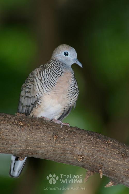 Peaceful Dove, Geopelia striata
