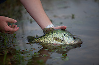 ANGLER RELEASING A CRAPPIE BACK TO THE WATER
