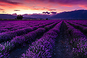 Hot summer sunset by the lavender field