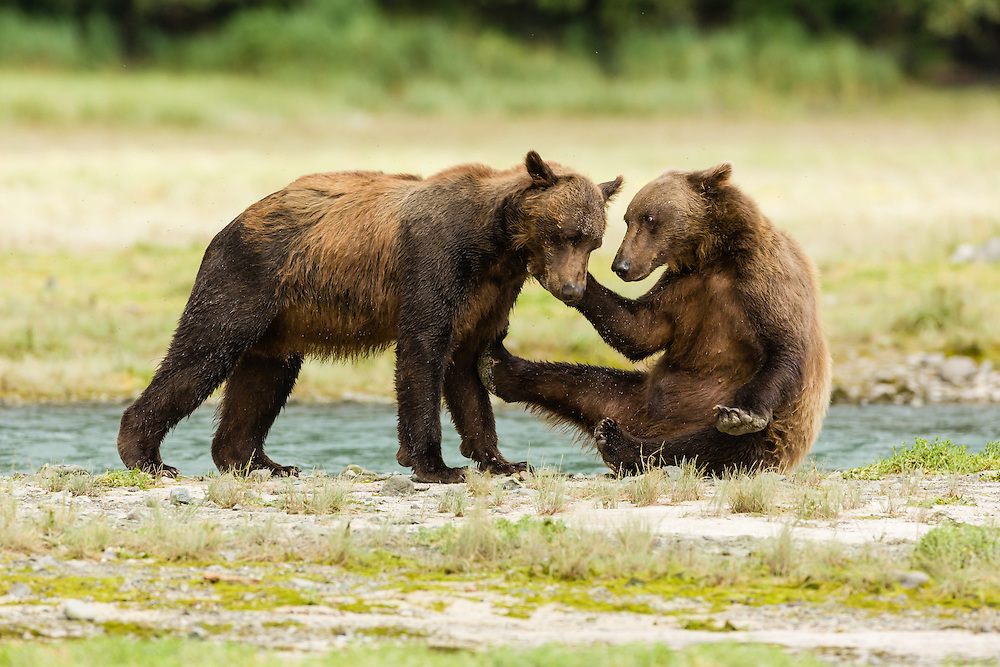 Brown bears (Ursus arctos) wrestle for dominance to fish for salmon along Geographic Creek at Geographic Harbor in Katmai National Park in Southwestern Alaska. Summer. Afternoon.