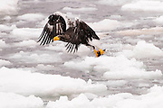 JAPAN, Eastern Hokkaido.Steller's sea eagle (Haliaeetus pelagicus) snatching a fish in flight.(IUCN 2010: Vulnerable)