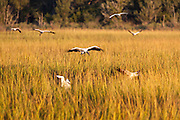 Woodstorks coming in for a landing in marsh