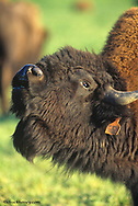 Mature bison bellowing at commercial operation in Montana