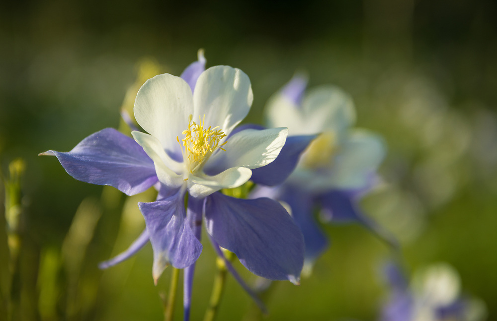 This beautiful purple columbine shot was taken on Cottonwood Pass in Colorado.<br /> <br /> Camera <br /> NIKON D7100<br /> Lens <br /> 17.0-50.0 mm f/2.8<br /> Focal Length <br /> 50<br /> Shutter Speed <br /> 1/1250<br /> Aperture <br /> 2.8<br /> ISO <br /> 250