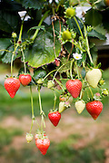 Strawberries growing on a bush in Gloucestershire, England, United Kingdom