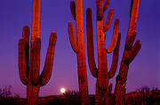 The moon rises at dusk at Saguaro National Park East in the Sonoran Desert in Tucson, Arizona.
