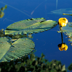 Hampton, NH.  Yellow Pond-Lily, Nuphar lutea, growing in the Taylor River.  Hurd Farm...