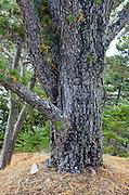 Pitch Pine (Pinus rigida) growing in Seal Harbor, Maine.