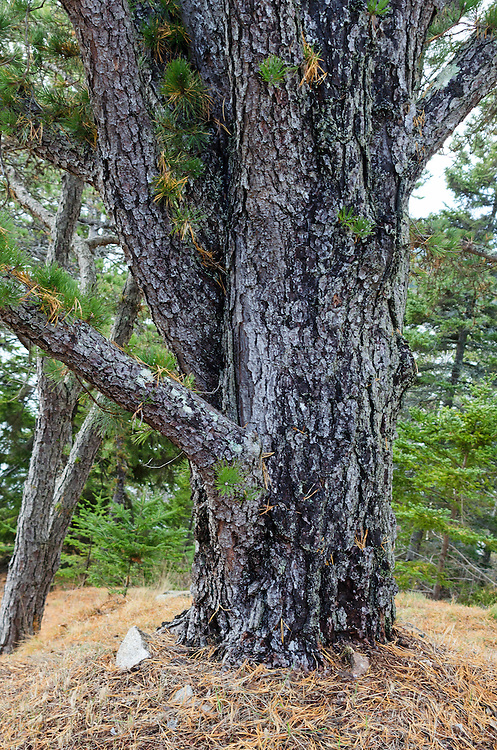 Pitch Pine (Pinus rigida) growing in Seal Harbor, Maine.