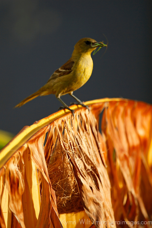 North America, USA, California. Female Hooded Oriole with insect