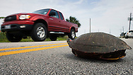 KEVIN BARTRAM/The Daily News.A red-eared slider turtle waits to cross 89th Street in Galveston on Thursday, June 1, 2006. A passerby stopped to help the turtle safely across the road.
