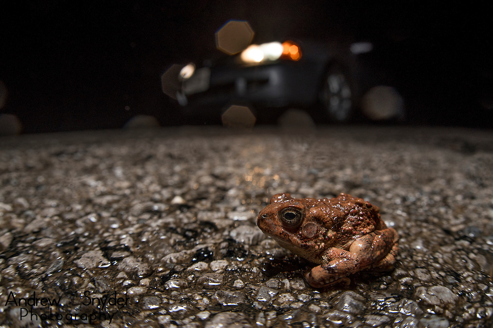 A fowler's toad (Anaxyrus fowleri), one of the first amphibians to emerge for the season - Oxford, Mississippi