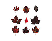 Deep red, wine-colored fall foliage: maple leaves from Bar Harbor, Maine