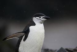 Chinstrap Penguin (Pygoscelis antarcticus) in Antarctica
