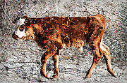 Digitally enhanced image of a calf roaming on the side of the road, Jordan Valley, Northern Israel