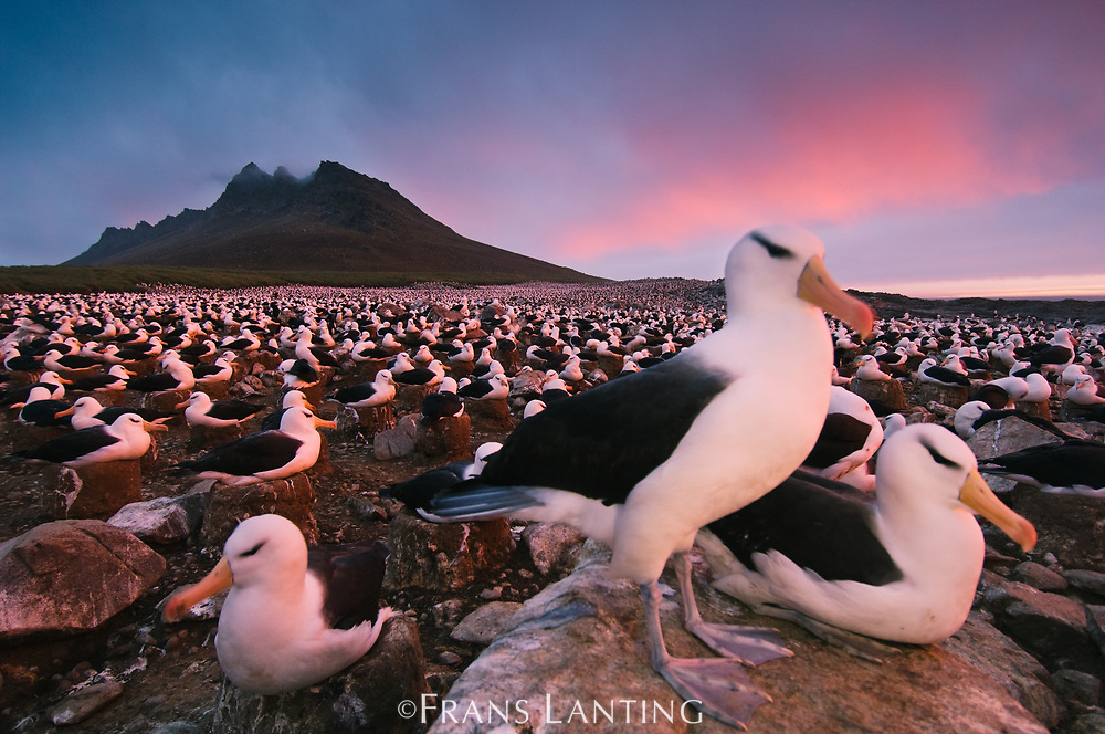 Black-browed albatross colony, Steeple Jason Islands, Falkland Islands