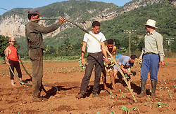 Agricultural workers planting and watering tobacco seedlings on farm at Vinales; Cuba; with Mogote limestone formations in the background,