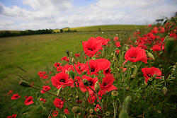 UK ENGLAND WILTSHIRE 26JUN08 - Wild Poppy plants near the river Kennet near Avesbury in rural Wiltshire, western England...jre/Photo by Jiri Rezac / WWF UK..© Jiri Rezac 2008..Contact: +44 (0) 7050 110 417.Mobile:  +44 (0) 7801 337 683.Office:  +44 (0) 20 8968 9635..Email:   jiri@jirirezac.com.Web:     www.jirirezac.com..© All images Jiri Rezac 2008 - All rights reserved.