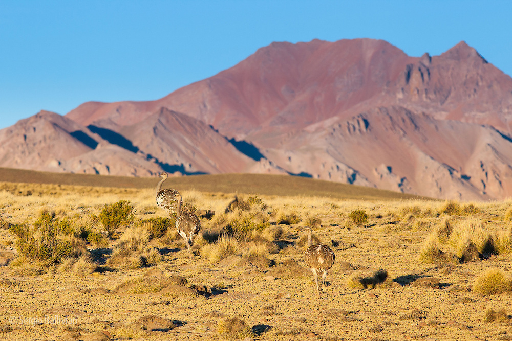 A Lesser Rhea (Rhea pennata) or Suri or Nandu (common Andean names) walks along Bolivia's southwestern Altiplano region known as the Sud Lipez.  Rheas are large, flightless birds with gray-brown plumage, long legs and long necks, similar to an ostrich.  The Lesser Rhea is somewhat smaller as their back is only 90 centimetres (35 in) tall.  Their wings are large for a flightless bird (250 centimetres/(8.2 ft), and are spread while running, to act like sails.  Unlike most birds, rheas have only three toes. Their tarsus has 18 to 22 horizontal plates on the front of it. They also store urine separately in an expansion of the cloaca.  Rheas are from South America only and are limited within the continent to Argentina, Bolivia, Brazil, Chile, Peru, Paraguay and Uruguay. They are grassland birds and both species prefer open land. The lesser Rhea will utilize most shrubland, grassland, even desert salt puna up to 4,500 metres/14,800 ft.