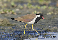 Red-wattled Lapwing - Vanellus indicus Attractive wading bird, associated with freshwater margins, often in stagnant locations.