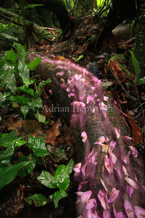 This image was a Specially Recommended winner in the 2008 BBC Wildlife Photographer of the Year competition.<br /> <br /> The column of leaf-cutter ants in this photograph were carrying pink tonka-bean-tree petals through the rainforest of La Selva Biological Station, Costa Rica. The contrast of pink and green was irresistible and I had never seen such a large column of these ants transporting something so colourful.<br /> <br /> For sizes and pricing click on ADD TO CART (above).