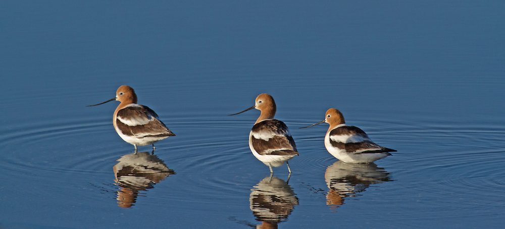 These American avocets sport the bright cinnamon head and neck plumage associated with the spring breeding season. Once courtship is completed, these colorful feathers change to a drab gray for the remainder of the year.