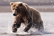 USA, Katmai National Park (AK).Coastal brown bear (Ursus arctos) in pursuit of salmon
