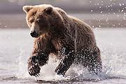 USA, Katmai National Park (AK).Coastal brown bear (Ursus arctos) in pursuit of salmon