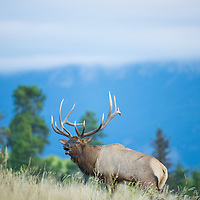 bull elk in grass bugling mountain background